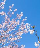 sakura-hotta-02.jpg